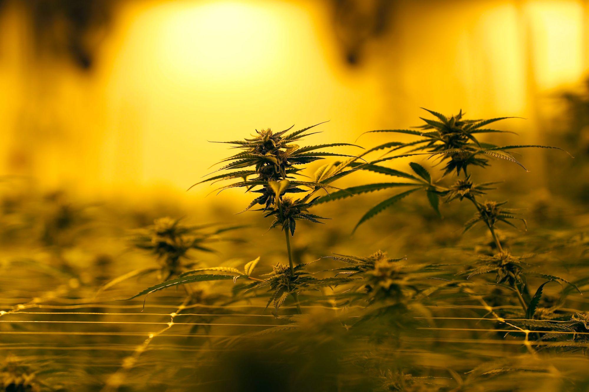 LeafLink raises $40M to cultivate its cannabis wholesale market